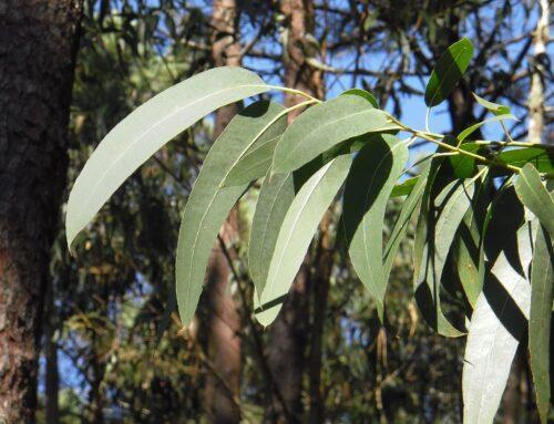 Das Öl des Wohlbefindens – Eukalyptus radiata